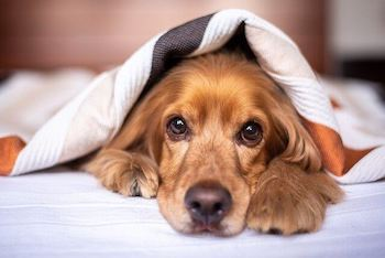 Waterproof Blankets For Dogs - A Golden Retriever peeking out from a blanket that is draped over top of him.
